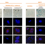 Cellular alterations associated with therapy-induced senescence